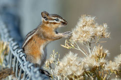 Chipmonk Fotografia de Stock Royalty Free
