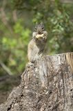 Chipmonk eating a peanut Royalty Free Stock Photos
