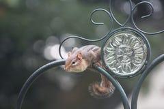 Chipmonk på smidesjärnstaketet Royaltyfria Foton