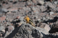 Chipmonk - three sisters - cascades, OR, USA Royalty Free Stock Photography