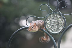 Chipmonk on Wrought Iron Fence. Cute and funny chipmonk sitting on wrought iron fence royalty free stock photos