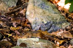 Chipmuck ground-squirrel between yellow leaves and rocks with some bright green fresh imps. Spring. Closeup. royalty free stock images