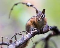 Chipmunck Arkivfoto