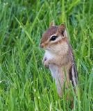 Chipmunck que se levanta en la hierba Fotografía de archivo