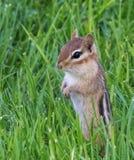 Chipmunck som är stående upp i gräset arkivbild