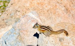 Chipmunk στο φωτεινό φως του ήλιου στην πέτρα στοκ εικόνες με δικαίωμα ελεύθερης χρήσης