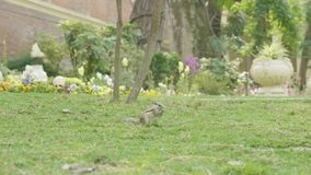 Chipmunk łasowanie na zielonej trawie w parku i znalezienie zbiory wideo