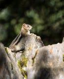 Chipmunk/αλεσμένος σκίουρος Στοκ εικόνες με δικαίωμα ελεύθερης χρήσης