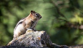 Chipmunk/αλεσμένος σκίουρος Στοκ εικόνα με δικαίωμα ελεύθερης χρήσης