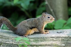 Chipmunk, πάρκο Warner Lote, Burnaby Π.Χ., Καναδάς στοκ εικόνες με δικαίωμα ελεύθερης χρήσης