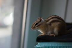 Chipmunk που κοιτάζει επίμονα από το παράθυρο στοκ εικόνες