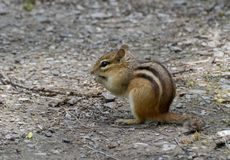 Chipmunk που σκαρφαλώνει στο έδαφος στοκ εικόνες