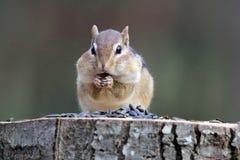 Chipmunk που τρώει τους σπόρους Στοκ εικόνα με δικαίωμα ελεύθερης χρήσης