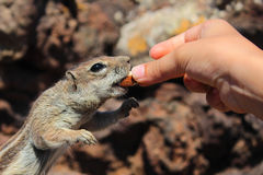 Chipmunk που τρώει το αμύγδαλο Στοκ Φωτογραφίες