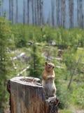 Chipmunk σε ένα κολόβωμα Στοκ εικόνα με δικαίωμα ελεύθερης χρήσης