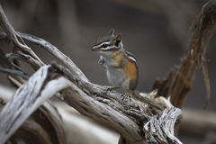 Chipmunk σε Driftwood Στοκ φωτογραφία με δικαίωμα ελεύθερης χρήσης