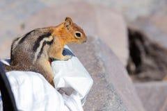 Chipmunk στην άσπρη πλαστική τσάντα στοκ φωτογραφίες με δικαίωμα ελεύθερης χρήσης