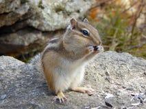 Chipmunk στην πέτρα που τρώει τους σπόρους Στοκ Εικόνες