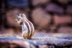 Chipmunk στην παραλία Cofete Στοκ Φωτογραφία