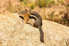 Chipmunk στο δύσκολο εθνικό πάρκο βουνών, Κολοράντο στοκ εικόνες