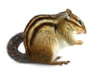 Chipmunk στο λευκό Στοκ εικόνα με δικαίωμα ελεύθερης χρήσης