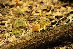 chipmunk χαριτωμένο κούτσουρο Στοκ φωτογραφίες με δικαίωμα ελεύθερης χρήσης