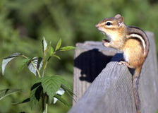chipmunk восточный стоковое фото rf