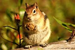 chipmunk жирный Стоковые Фото