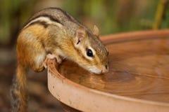 chipmunk испытывающий жажду Стоковая Фотография