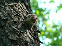 Сибирский бурундук на дереве стоковые изображения rf