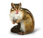 Chipmunk на белизне Стоковое Фото