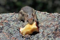 chipmunk яблока Стоковое Изображение