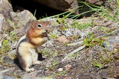 Chipmunk 1. Cute chipmunk eating its food with lots of space for your text Royalty Free Stock Images