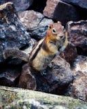 chipmunk Stockbild