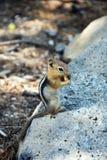 chipmunk Imagem de Stock Royalty Free