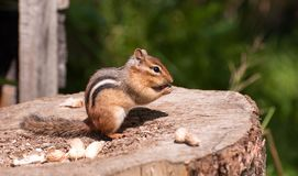 Chipmunk. Royalty Free Stock Images