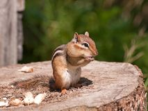 Chipmunk. Stock Image