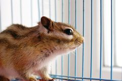 Chipmunk. Staring through cage rods Royalty Free Stock Photography