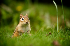 Chipmunk. Pokes his head out of the green grass Stock Image