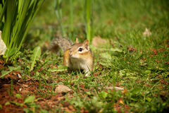 Chipmunk. Walks in the green grass Stock Photo