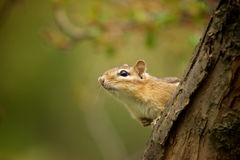 Chipmunk. Looks out next to a tree Stock Images