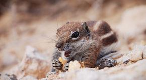 Chipmunk Stock Images