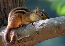Free Chipmunk Royalty Free Stock Photography - 148647