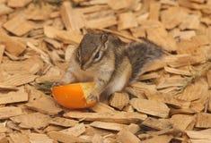 Chipmunk. A cute Chipmunk enjoying an Orange Royalty Free Stock Images
