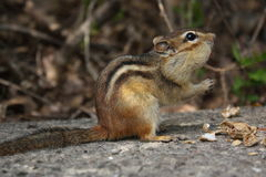 Chipmunk Stockfotografie