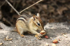 Chipmunk Royalty Free Stock Image
