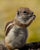 Chipmunk. Feeding of a gentle chipmunk Royalty Free Stock Images