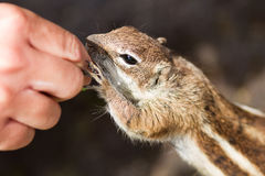 Chipmunk. Feeding of a gentle chipmunk Stock Photography