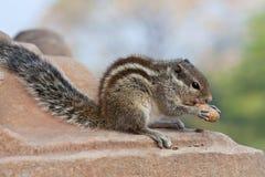 chipmunk Стоковые Фото