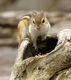 Chipmunk 2 Photo stock